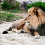 lion-lying-outdoor-rest.jpg