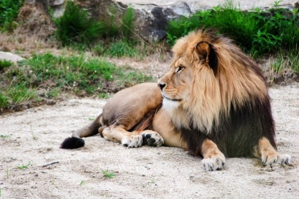 Lion lying outdoor rest
